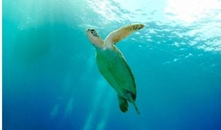 צב ים בצלילה חופשית