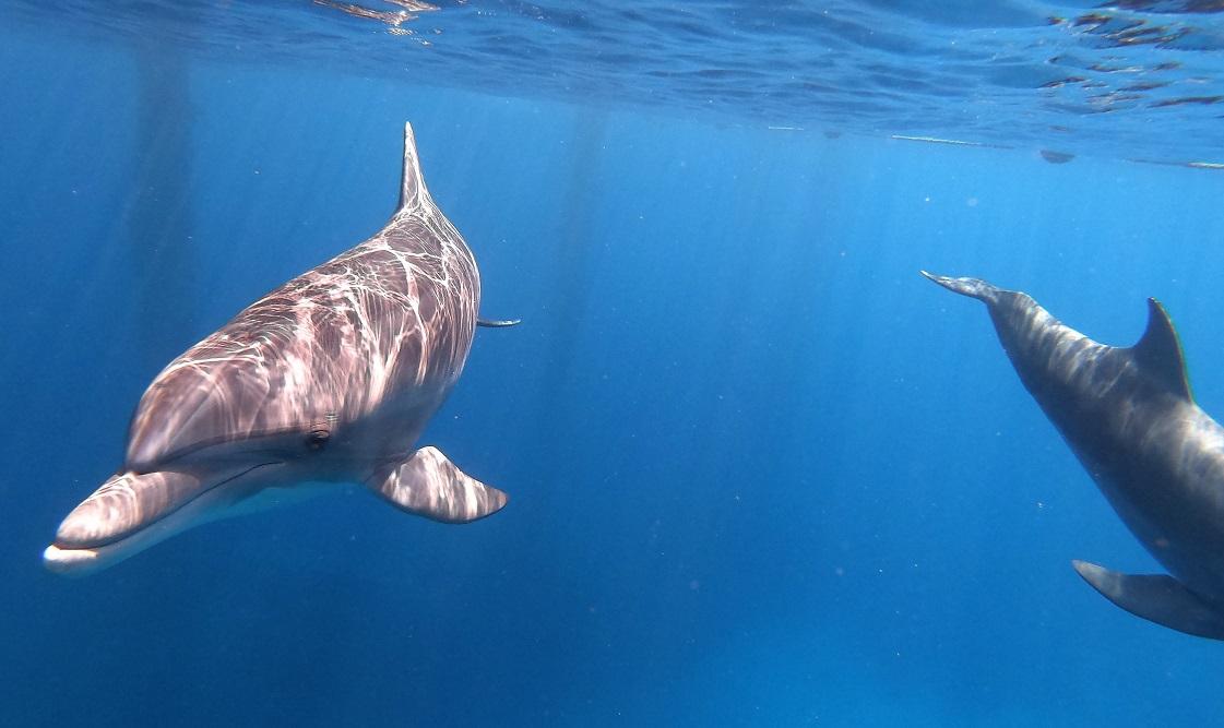 דולפינים בקורס צלילה חופשית
